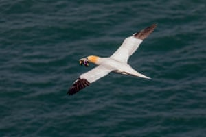 A gannet carries some tasty plastic food back to its nest.