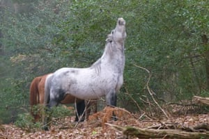 New Forest pony browsing in Red Shoot wood