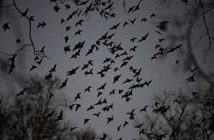Bats flying in the city of Merida, Yucatan, Mexico. Researchers from Mexico, Costa Rica, Honduras, Nicaragua, El Salvador and Guatemala are participating this month in a project called Christmas Bat Count, which aims to collect updated information and raise awareness about bats in these countries
