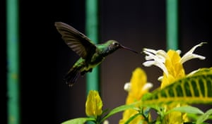 Valencia, Venezuela. A black-chinned male hummingbird (Archilochus alexandri) hovers in the sky while feeding on the nectar of flowers, in Carabobo state