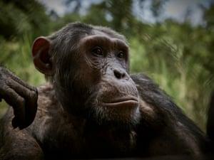 Jango, a rescued chimpanzee, at Lwiro Primate Centre