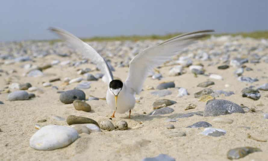 Little tern, the the UK's smallest seabird saw numbers drop 15% across England and Wales in 2015.