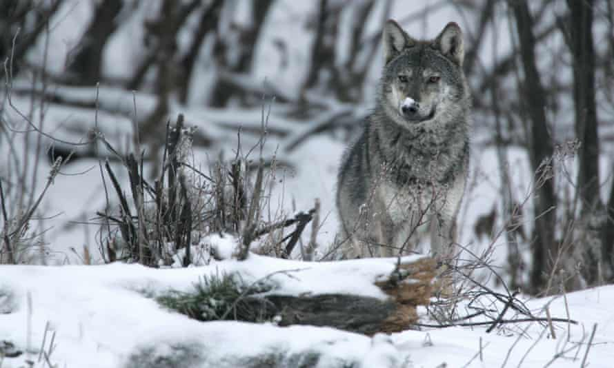 Wolf photographed in the Bieszczady mountains.