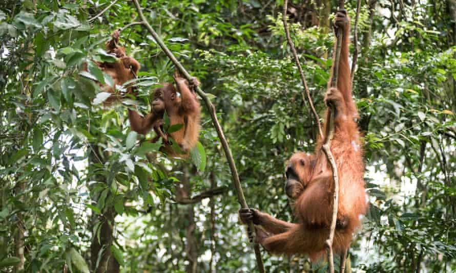 Mother orangutan with her babies in Gunung Leuser national park, North Sumatra, Indonesia