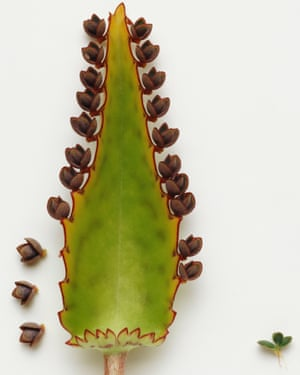 Show-stopper: Kalanchoe daigremontiana.