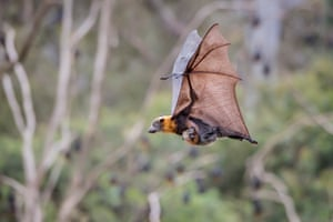 A female grey-headed flying foxes (Pteropus poliocephalus) Yarra Bend Park. Kew, Victoria.