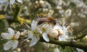 Mining bee on blackthorn blossom