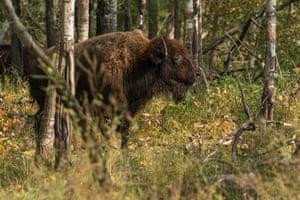 Bison in Elk Island national park, Canada.