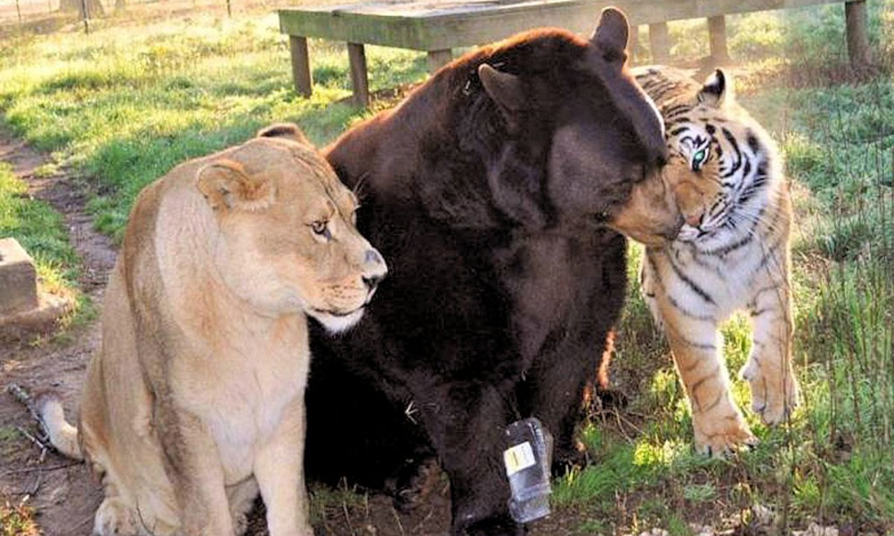 Bear, lion and tiger are best of friends after sharing traumatic past –  video
