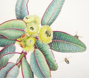 Eucalyptus preissiana subsp. lobata by Janet Matthews coloured pencil