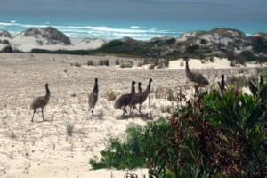 Port Lincoln, AustraliaA flock of emus walk along the windswept sand dunes of Lincoln National Park. Cape Barren geese and kangaroos are among other wildlife in the park.