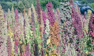 Dry-farmed quinoa growing at the New family farm in Sebastopol, California.