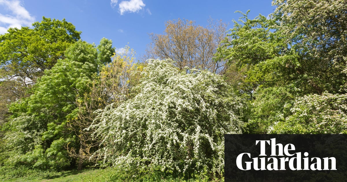 Spring flowering trees in full bloom country diary 100 years ago hawthorn or may tree crataegus white flowers in spring at winkworth mightylinksfo
