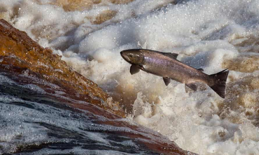 Atlantic salmon (Salmo salar) leaping on upstream migration