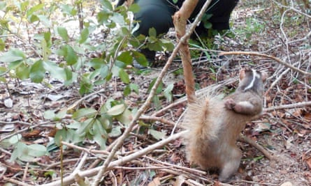 Wildlife Alliance patrol rangers discover a Burmese ferret badger caught in a snare in the Cardamom Rainforest Landscape. Fortunately this animal was released and survived