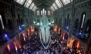 Hope, the Natural History Museum's blue whale.