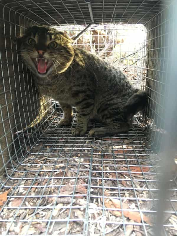 a feral cat caught in a cage