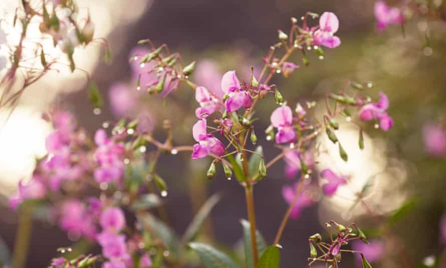 It has been illegal to plant Himalayan balsam or introduce it to the wild in the UK since 1981.