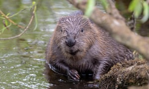 Three Eurasian beaver families are set to be released in Somerset and Sussex next spring.
