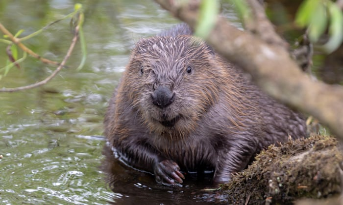 Eurasian beaver, photo Ian Sherratt/Alamy Stock Photo