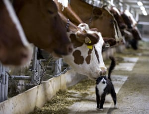 Quebec, Canada A dairy cow nuzzles a barn cat as it waits to be milked at a farm in Granby