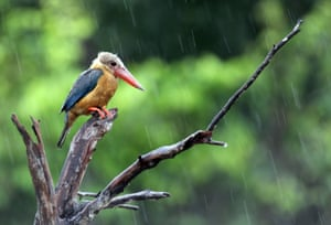 Stork-billed kingfisher during rain in BintanIndonesia. The tree species is sparsely distributed in the tropical Indian subcontinent and south-east Asia, from India to Indonesia.