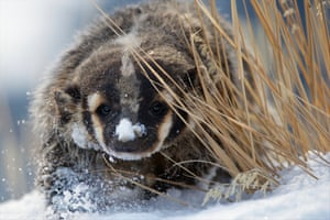 A badger looks around some old grass in the winter