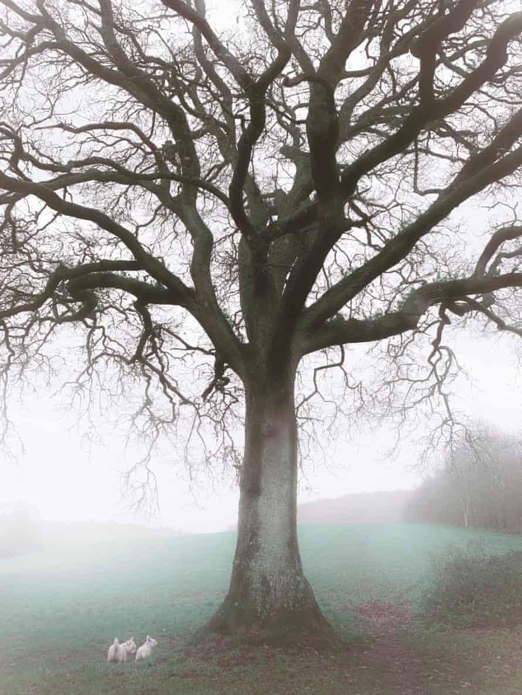 The 230-year-old oak tree at Dinas Powys, Vale of Glamorgan, south Wales