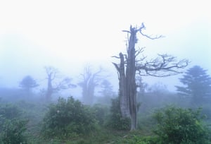 Yew trees, such as those on Mount Gariwang, are very difficult to regrow or move.