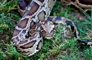 A Burmese python in the grass at Everglades Holiday Park in Fort Lauderdale, Florida