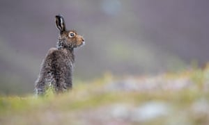 A mountain hare sits on hillside after a rain shower in the Scottish Highlands