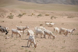 Goats look for food at Urat pasture in Hulun Buir, Mongolia, ine June 2015. Drought was hitting some big cities and prefectures in the region