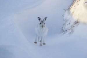 A mountain hare (<em>Lepus timidus</em>) runs across the snow in the Cairngorms national park, Scotland