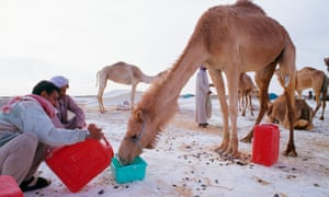 Scientists now have genetic proof that western camels are closely tied to those inhabiting Asia and Arabia.