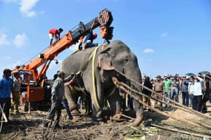 Goalpara, India A tranquillised wild elephant that killed five villagers during a 24-hour rampage before being caught is lifted prior to transport in Rongjuli forest division in western Assam's Goalpara district