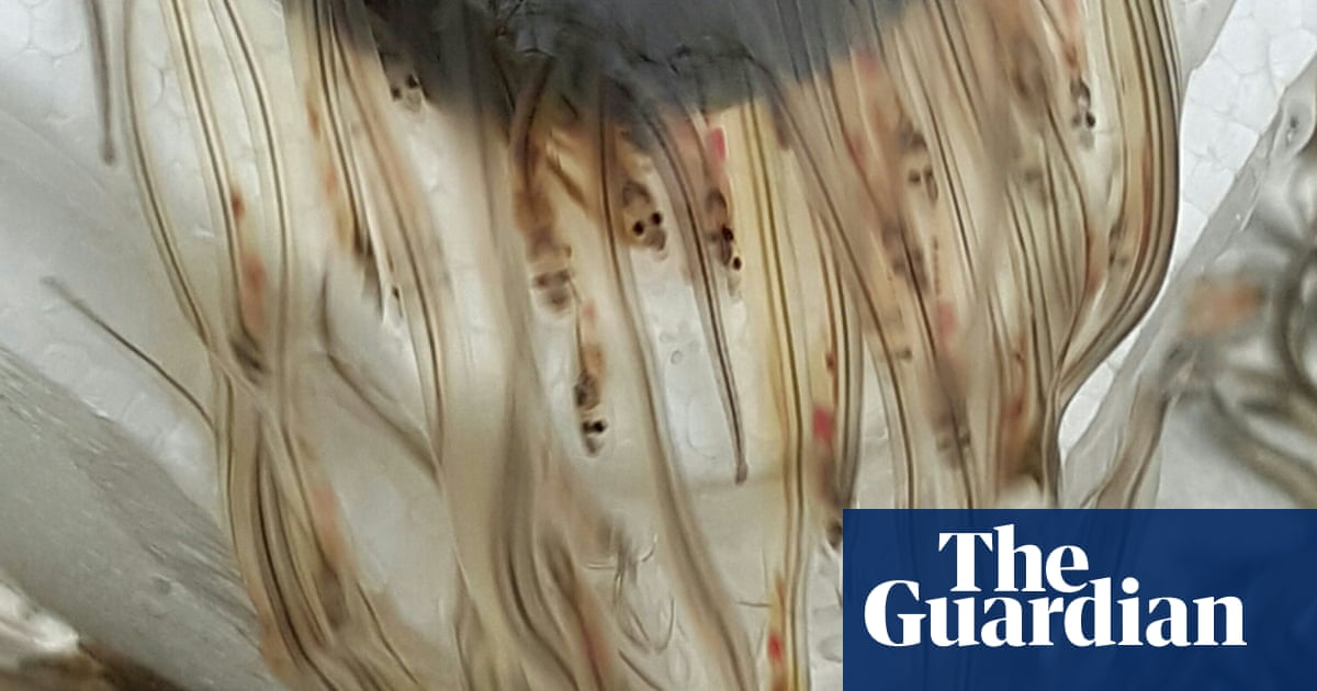 Illegal Eel Black Market Continues To Taint Europe S Eel Fishery Environment The Guardian