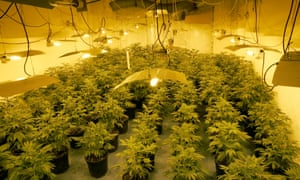 A cannabis factory raided by police in north-west London.