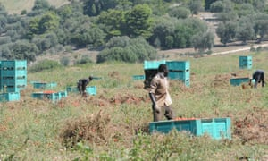 Migrant workers harvest tomatoes in Puglia, southern Italy