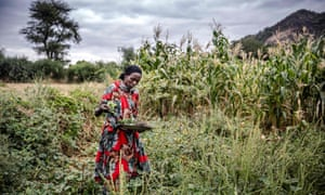 Farmer Amina Guyo harvests cowpeas and leaves to prepare the main meal of the day in Uran ward, Kenya