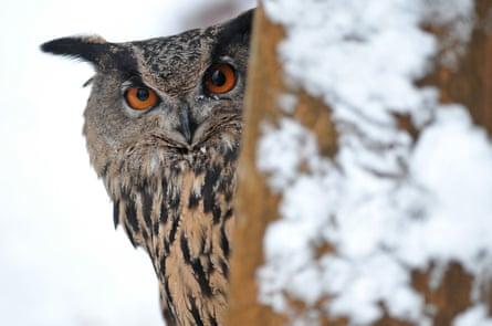 A Eurasian eagle-owl