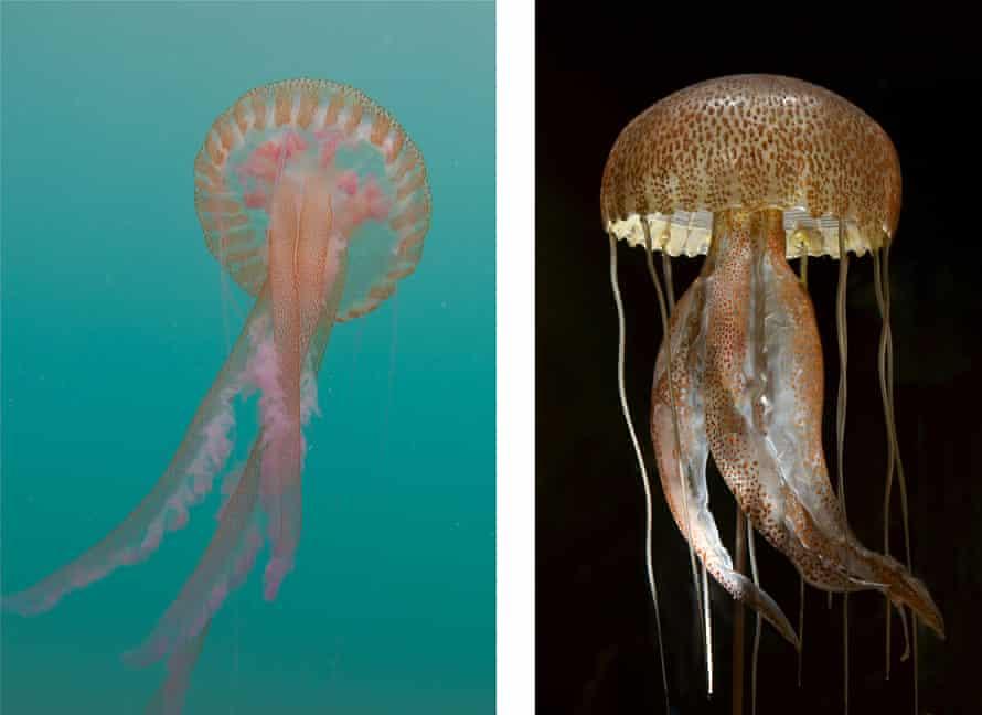 The mauve stinger jellyfish