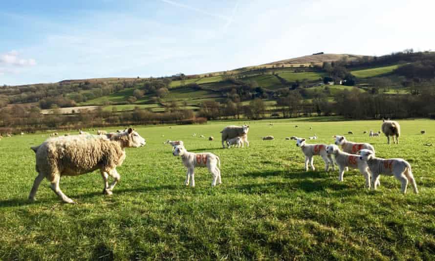 Lambs in the fields near Painscastle.
