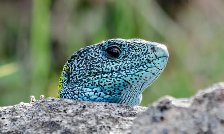 Iberian emerald lizard, over a rock. This reptil is endemic of Iberian Peninsula -Spain and Portugal-.EPX5K7 Iberian emerald lizard, over a rock. This reptil is endemic of Iberian Peninsula -Spain and Portugal-.