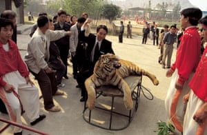 A drugged tiger is tormented by tourists at the Xiongsen Bear and Tiger Mountain Village, Guangxi Province, China