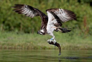 An osprey catches a rainbow trout in a loch near Aviemore in the Cairngorms, Scotland.