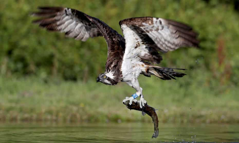 Ospreys, such as this one pictured catching a rainbow trout in a loch near Aviemore, make great subjects for webcams