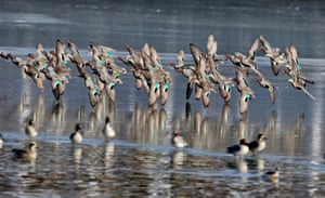 Mallards search for food at a wetland in Qinhuangdao, a coastal city in Hebei, China