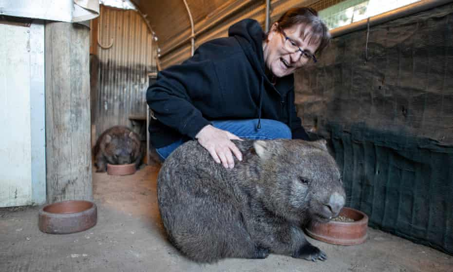 Marie Wynan, Director of the Wombat Protection Society with one of her patients.