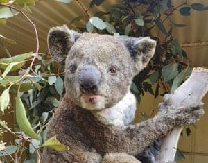 A rescued koala injured in a bushfire in Kangaroo Island