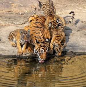 A mother tiger and her cubs emerge from their den to drink at a watering hole in India''s Ranthambore national park